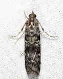 Dioryctria sp.