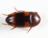 Holostrophus bifasciatus