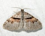 7368 - Labrador Carpet - Xanthorhoe labradorensis