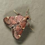 5526 - Red-shawled Moth - Hypsopygia intermedialis