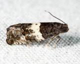 3227 - Gypsonoma substitutionis