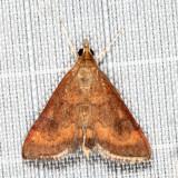 5051 - Variable Reddish Pyrausta - Pyrausta rubricalis