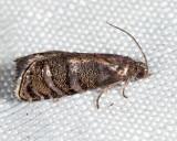 3486 - Eastern Pine Seedworm Moth - Cydia toreuta