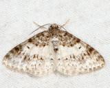 7422 - Unadorned Carpet - Hydrelia inornata
