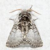 9184 - Yellowhorn - Colocasia flavicornis