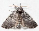 9185 - Closebanded Yellowhorn - Colocasia propinquilinea