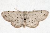6449 - Dotted Gray - Glena cribrataria