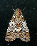 9061 - Owl-eyed Bird Dropping Moth - Cerma cora