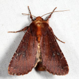 10268 - Maroonwing - Sideridis maryx