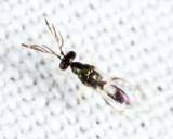 Eulophinae