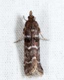 5783 – Striped Birch Pyralid – Ortholepis pasadamia