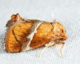4665 - Yellow-shouldered Slug Moth - Lithacodes fasciola