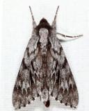 7817 - Northern Pine Sphinx - Lapara bombycoides