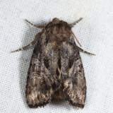 10996 - Willow Dart - Cerastis salicarum