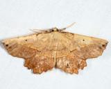 6726 - Obtuse Euchlaena - Euchlaena obtusaria