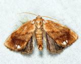 4659 - Jeweled Tailed Slug Moth - Packardia geminata