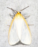 8230 - Delicate Cycnia - Cycnia tenera