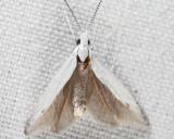 1261 - Coleophora querciella