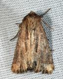 9433 - Chang Borer Moth - Xylomoia chagnoni