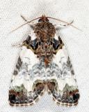 9062 - Tufted Bird-Dropping Moth - Cerma cerintha