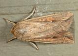 10438 - White Speck - Mythimna unipuncta