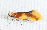 1046 - Orange-headed Epicallima - Epicallima argenticinctella
