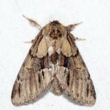 7917 - Georgian Prominent - Hyperaeschra georgica