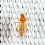 Stilobezzia lutea (female)