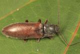 Metanomus insidiosus
