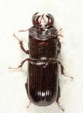 Ceruchus piceus (male)