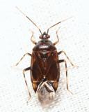 Deraeocoris sp.
