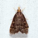 5117 - Loxostegopsis merrickalis