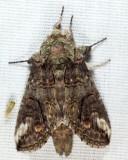 7983 - Oblique Heterocampa - Heterocampa obliqua