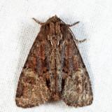 9618 - Turbulent Phosphila - Phosphila turbulenta
