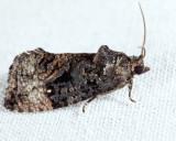 3495 - Dotted Ecdytolopha - Gymnandrosoma punctidiscanum