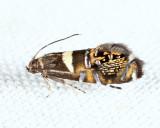2337 - Glyphipterix circumscriptella
