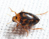 Haliplus fasciatus