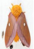 7723 – Northern Pink-striped Oakworm Moth – Anisota virginiensis