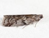 5829 - Speckled Black Pyla - Pyla fusca