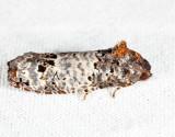 3192 – Gray-blotched Epiblema - Epiblema scudderiana