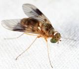 Snipe Flies - Rhagionidae