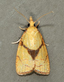 3721 - White-tailed Fruitworm - Cenopis mesospila 7-4
