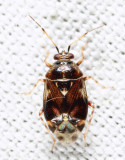 Deraeocoris nebulosus