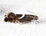 2346 -  Yellow Nutsedge Moth - Diploschizia impigritella