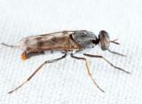 Cyclotelus rufiventris