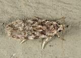 Xenolechia ontariensis 7-6