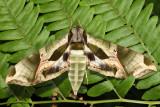 7859 - Pandora Sphinx - Eumorpha pandorus