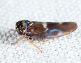 Agalliopsis cervina