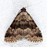 8426 - Visitation Moth - Dyspyralis illocata