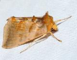 8896 - Dark-spotted Looper - Diachrysia aereoides